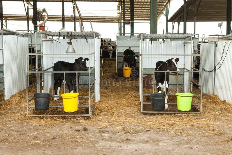 Holstein kalv i en penna royaltyfria bilder