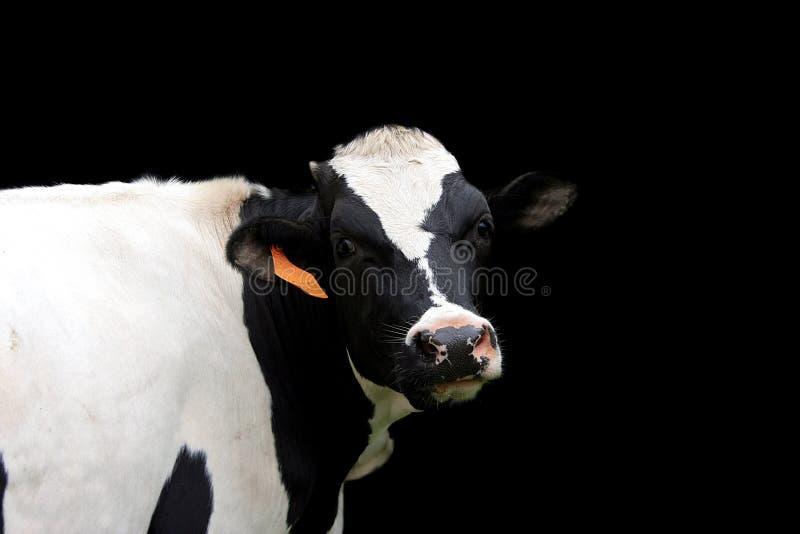 Holstein ko royaltyfria foton