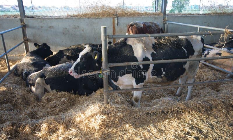 Holstein kor i ladugård arkivbilder