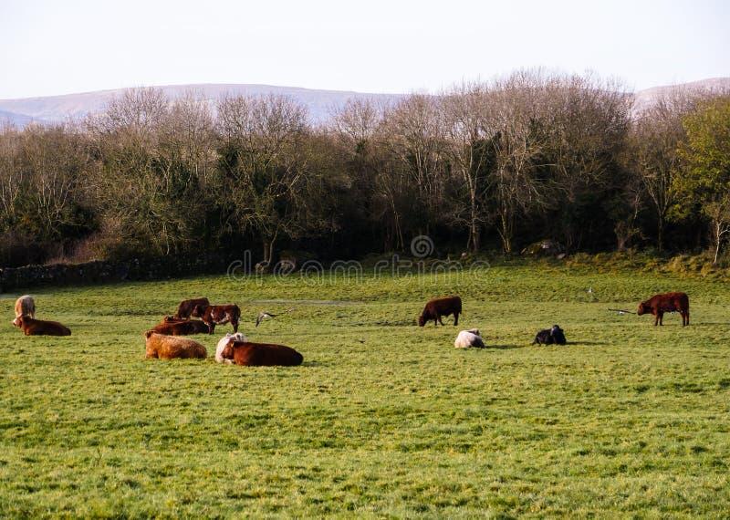 Holstein kor på en beta i Skottland arkivbild