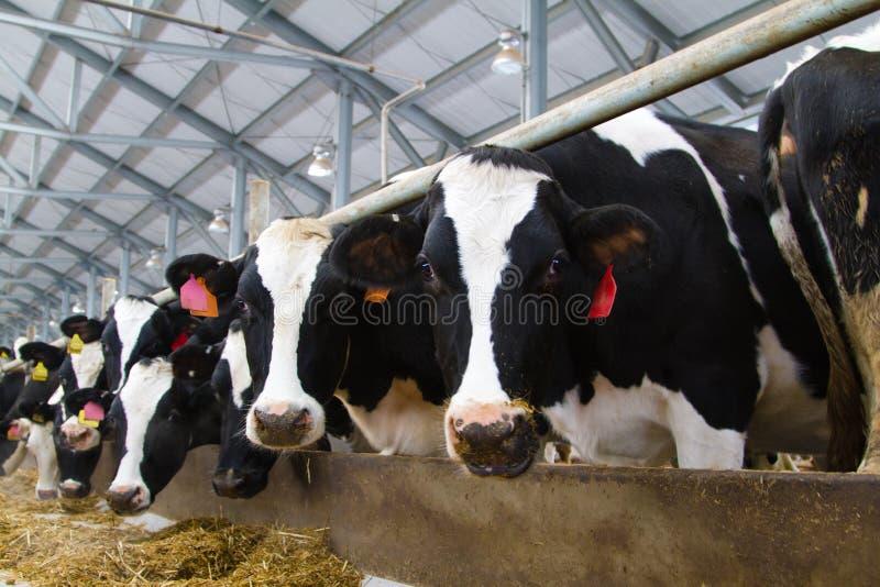 Holstein krowy obraz stock