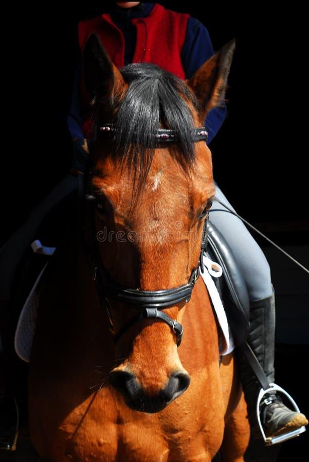 Holsteiner Pferd stockbild