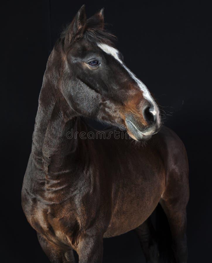 Download Holsteiner-Pferdestudio stockfoto. Bild von bauernhof - 47101378