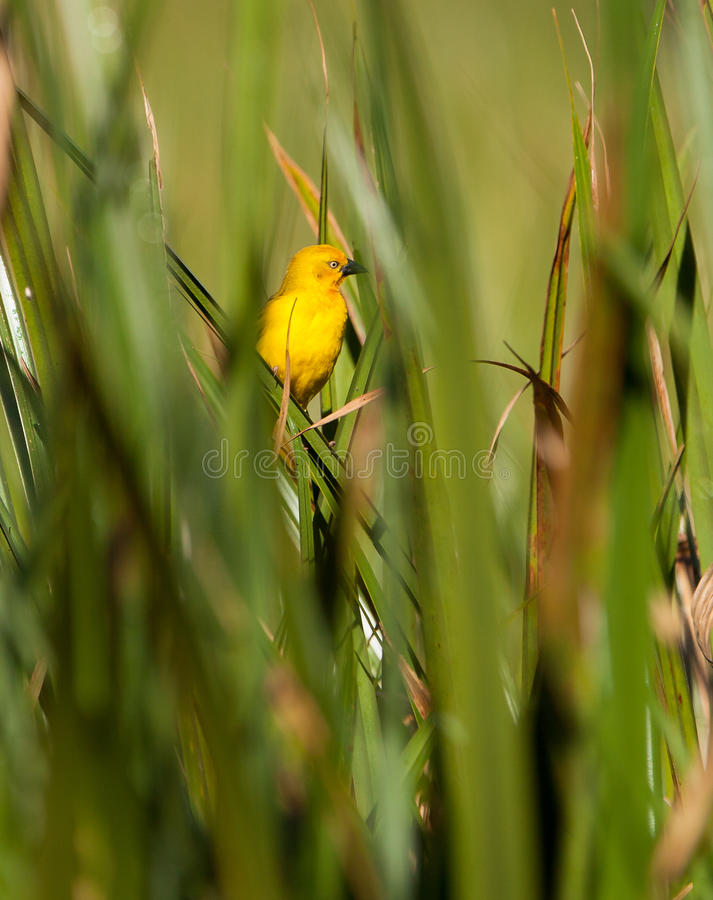 Download Holub's Golden Weaver In Green Stock Photo - Image of free, feathers: 24346414