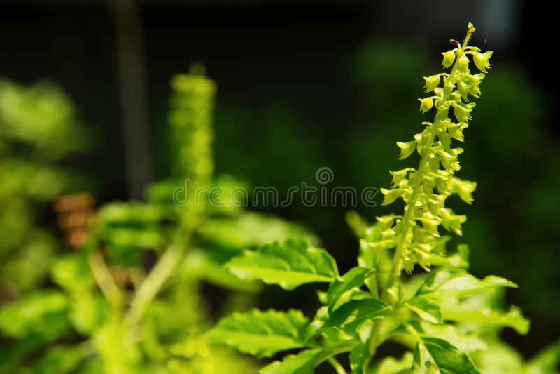 Download Holy basil flower stock image. Image of fresh, basil - 35944297