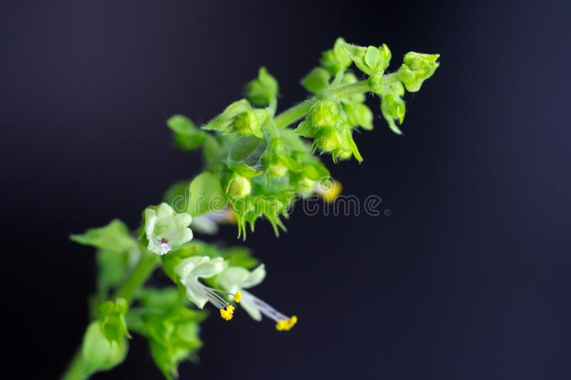 Holy Basil Flower Isolated On a Black Background stock images