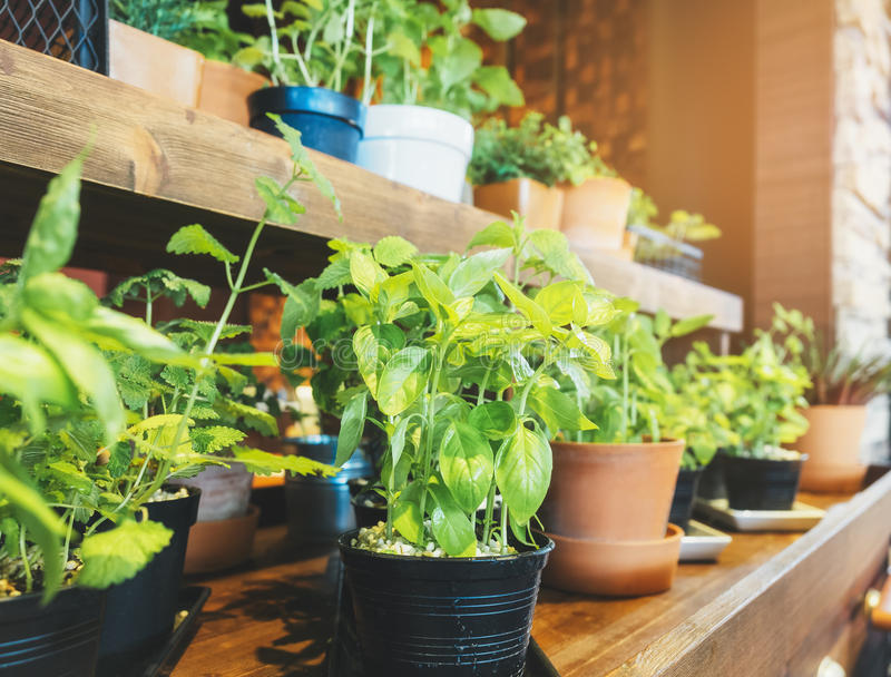 Holy Basil Herb Plant pots on wooden shelf Home garden royalty free stock photography