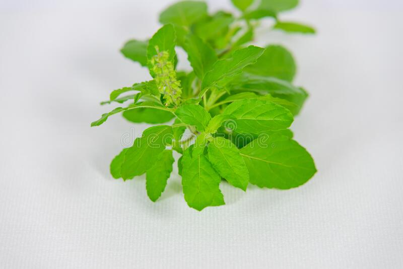 Holy basil leaves and flowers on white canvas background royalty free stock photos