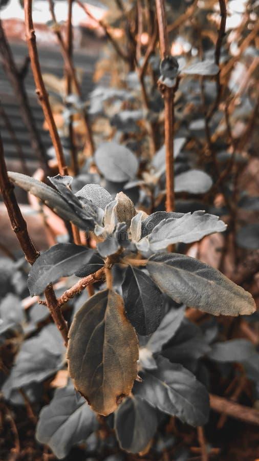 Holy Basil plant stock image