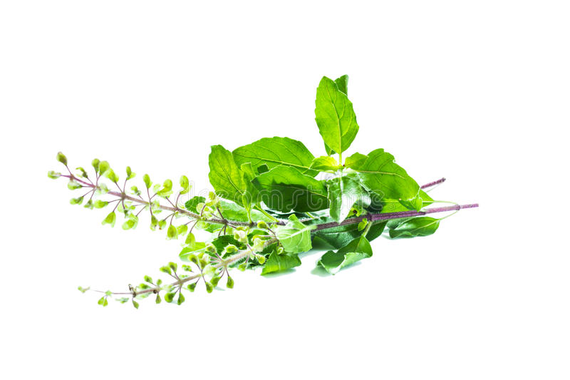 Holy basil or tulsi leaves stock image
