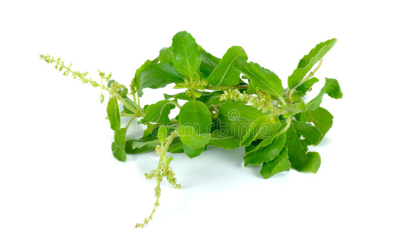 Holy basil or tulsi leaves isolated over white background stock images