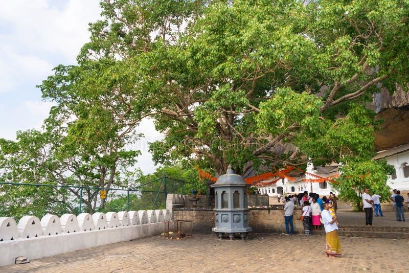 Holy bodhi ficus tree in the Dambulla Golden temple cave complex. DAMBULLA, SRI LANKA - NOV 2016: Holy bodhi ficus tree in the Golden temple cave complex stock photo