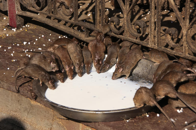 Holy rats drinking milk from a bowl, Karni Mata Temple, Deshnok, India stock images