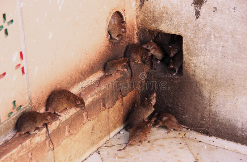 Holy rats running around Karni Mata Temple, Deshnok, India royalty free stock images