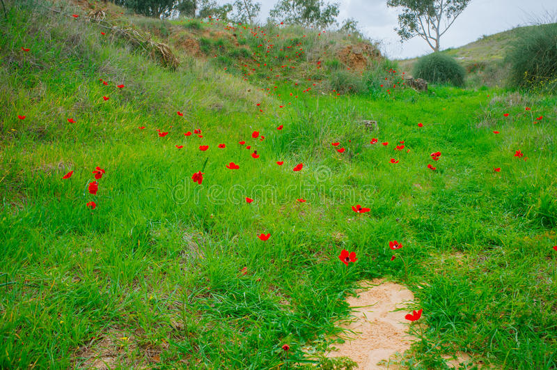 Holy Land Series -Anemones Field#3 royalty free stock image