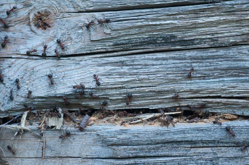Holz, das Ameisen isst lizenzfreies stockbild