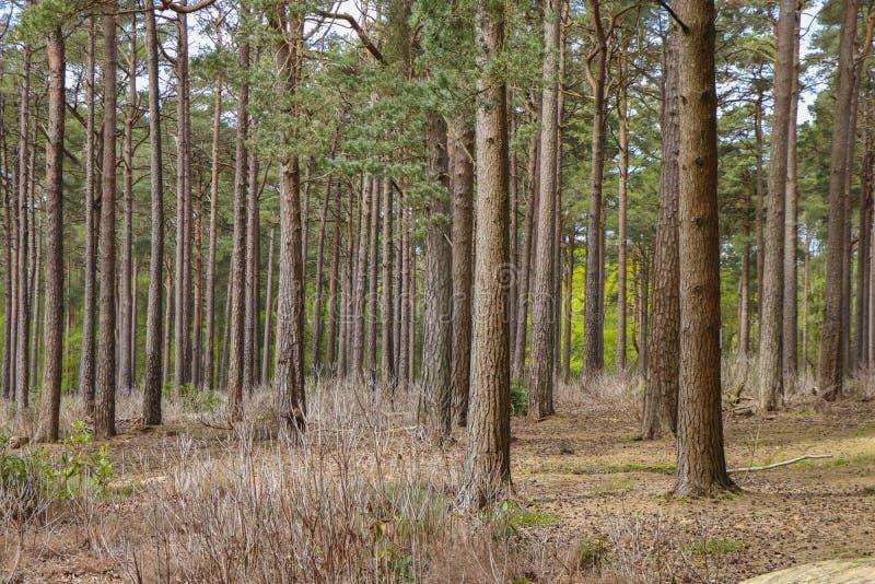 Holz mit jungen Bäumen der Kiefer lizenzfreie stockbilder