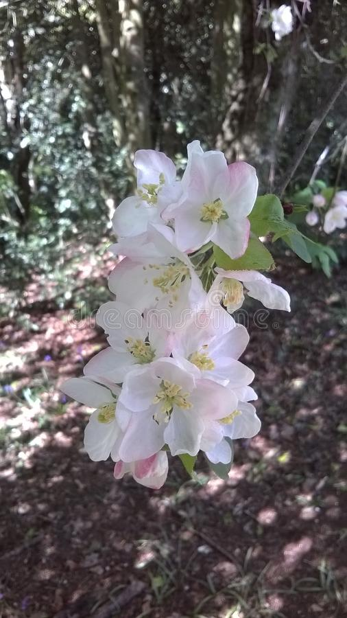 Holzapfel-Baumblüte im Waldland stockfoto
