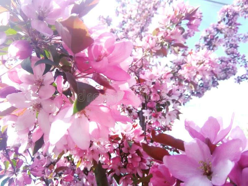 Holzapfel-Blüten lizenzfreie stockbilder