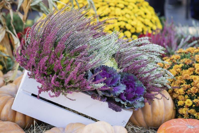Holzkiste mit blühendem dekorativem purpurrot-rosa Kohl, Blumen, Kürbise im trockenen Stroh Erntefeiertage, Danksagung stockfotos