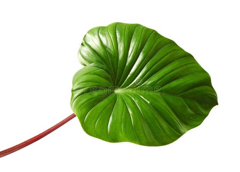 Homalomenagebladerte, Groen blad met rode die petioles op witte achtergrond, met het knippen van weg wordt geïsoleerd royalty-vrije stock fotografie