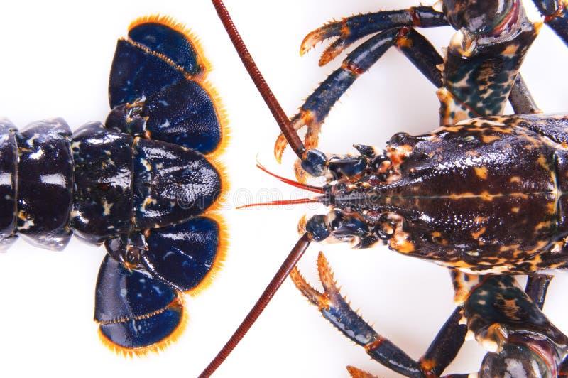 homar błękitny czerwień fotografia royalty free