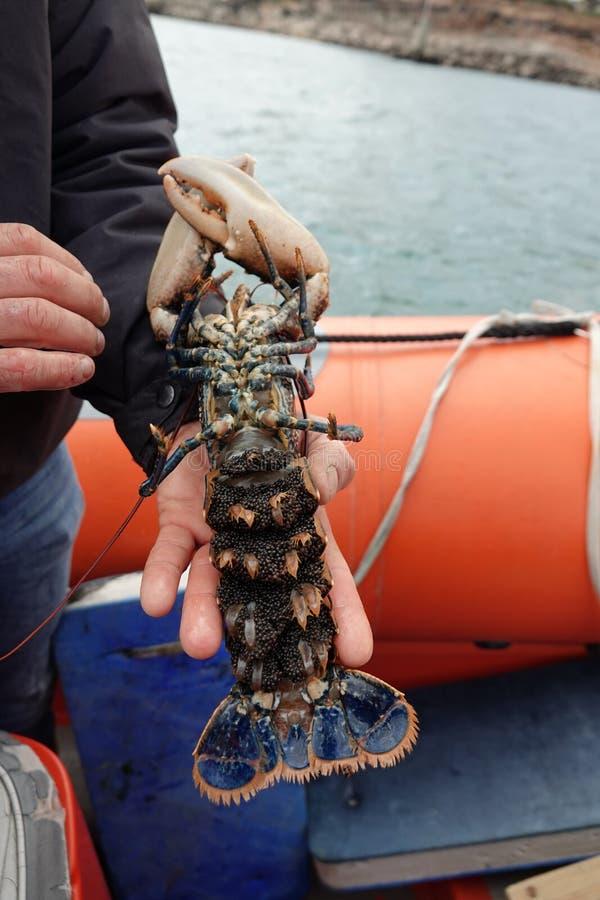 Homard bleu femelle avec des oeufs sur Ile de brehat en Bretagne photographie stock