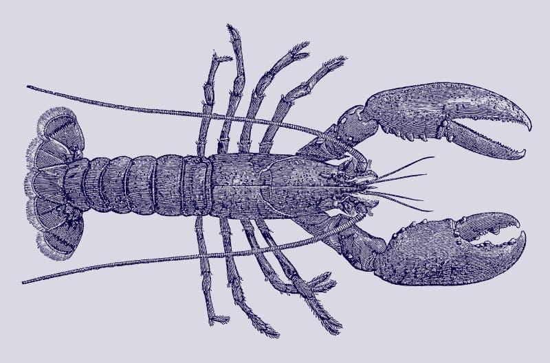 Homarus gammarus europeo o comune dell'aragosta nella vista superiore illustrazione di stock