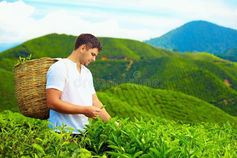 Hombre adulto joven que cosecha las hojas de té en la plantación fotografía de archivo