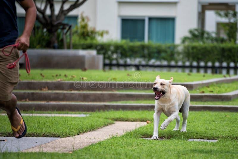 Hombre agresivo de la mordedura de perro de Labrador de la rabia fotografía de archivo libre de regalías
