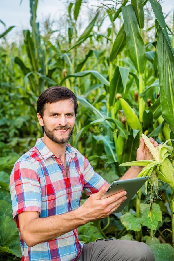 Hombre atractivo joven con la barba que comprueba mazorcas de maíz en campo imagenes de archivo