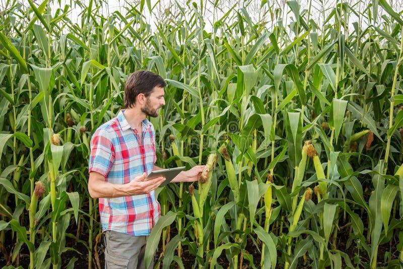 Hombre atractivo joven con la barba que comprueba mazorcas de maíz en campo foto de archivo libre de regalías