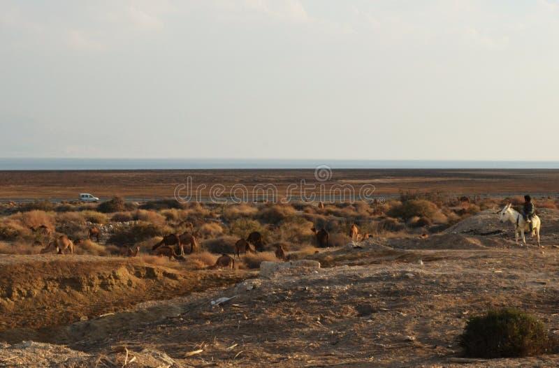 Hombre beduino en la manada de observación del camello del burro blanco en el desierto de Judean, cerca del parque nacional de Qu fotografía de archivo