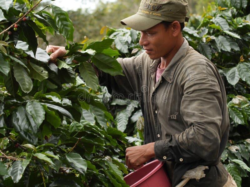Hombre como trabajador de granja que cosecha bayas de café fotos de archivo