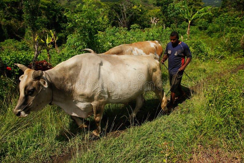 Hombre con el búfalo de agua, pueblo de Navala, Viti Levu, Fiji imagen de archivo libre de regalías