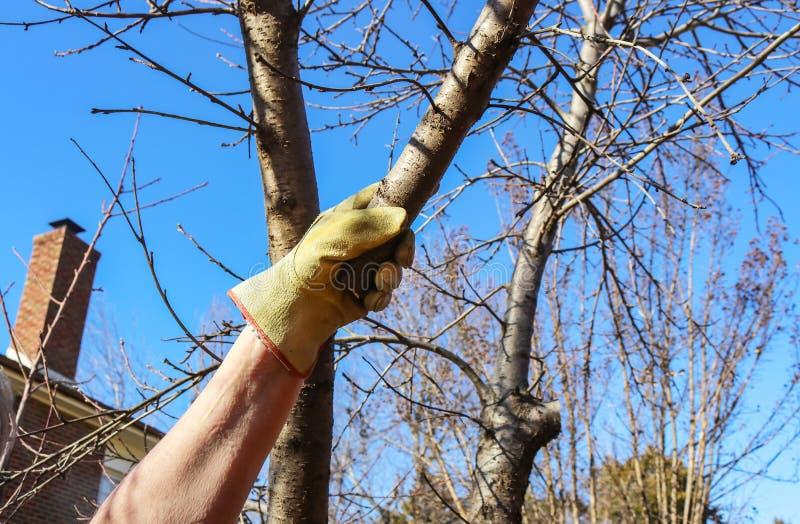 Hombre con el guante del trabajo en alcances hasta la pequeña rama de árbol de la compresión a cortar Otra rama se ha podado reci fotografía de archivo libre de regalías