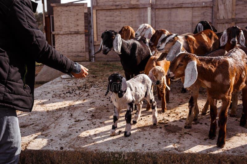 Hombre con las cabras imagen de archivo libre de regalías