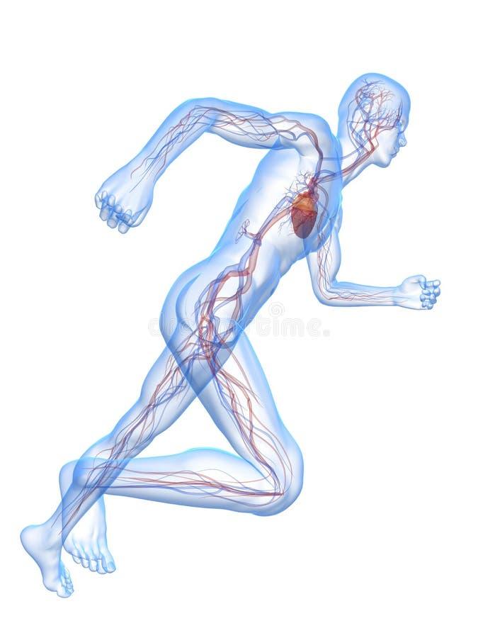 Hombre corriente - sistema vascular ilustración del vector