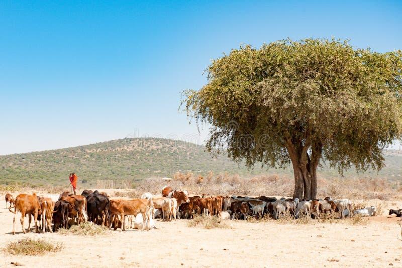 Hombre del Masai con la manada de ganado, Serengeti, Tanzania, África fotos de archivo