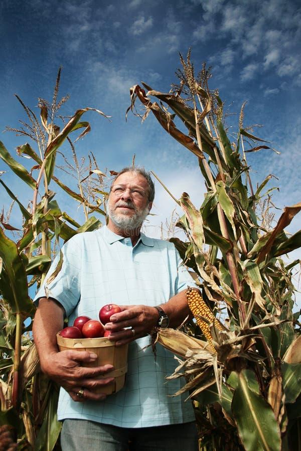 Hombre en campo de maíz fotografía de archivo