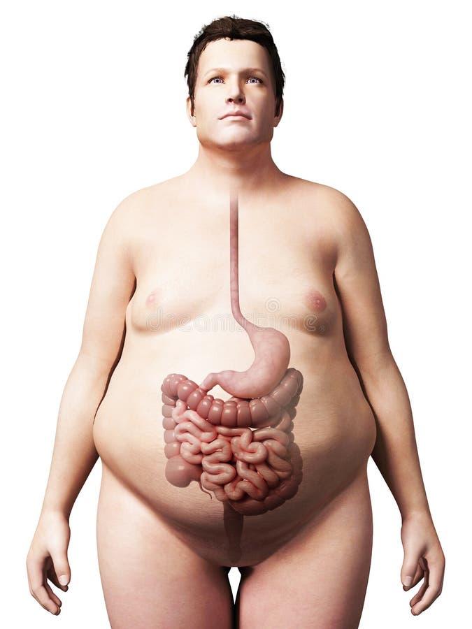 Hombre gordo - sistema digestivo ilustración del vector