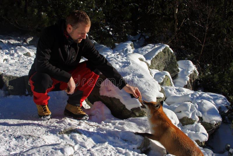 Hombre joven que alimenta un zorro salvaje en las montañas de Tatra imagen de archivo