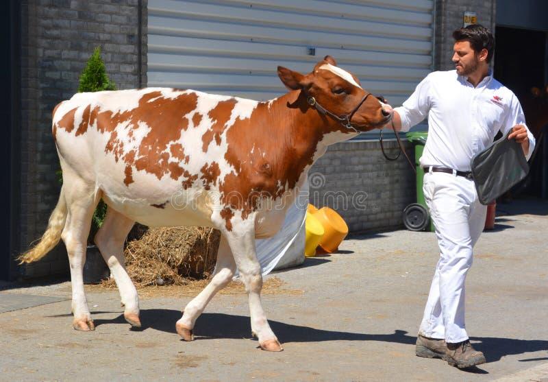 Hombre joven que exhibe el pedigrí Holstein roja foto de archivo libre de regalías