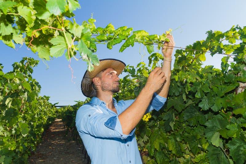 Hombre joven, viticultor, en el viñedo imágenes de archivo libres de regalías