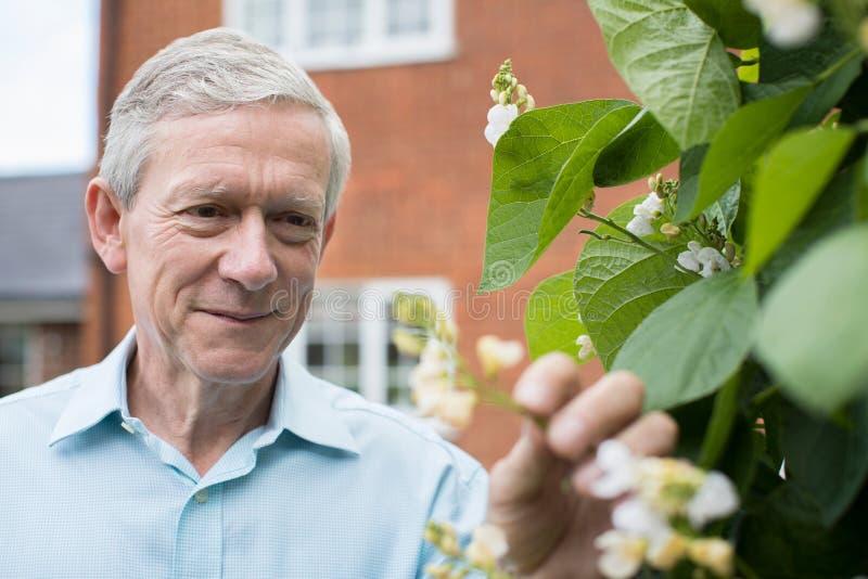 Hombre maduro que comprueba a Bean Plant In Vegetable Garden imagen de archivo libre de regalías