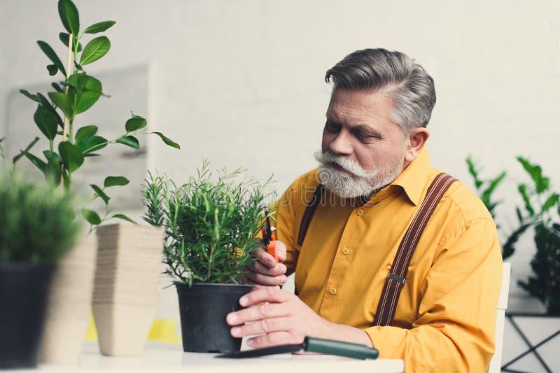 hombre mayor barbudo hermoso que corta la planta en conserva verde fotografía de archivo libre de regalías
