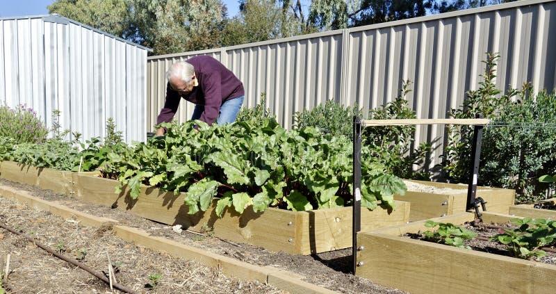 Hombre mayor en el remiendo vegetal. imagen de archivo