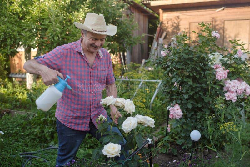 Hombre mayor en sombrero con las rosas de riego de la poder en jardín imagenes de archivo