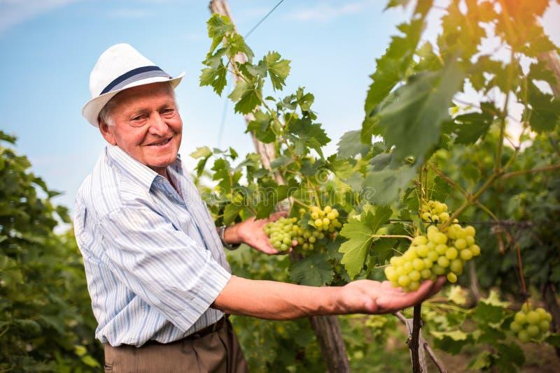 Hombre mayor que comprueba la calidad de uvas foto de archivo