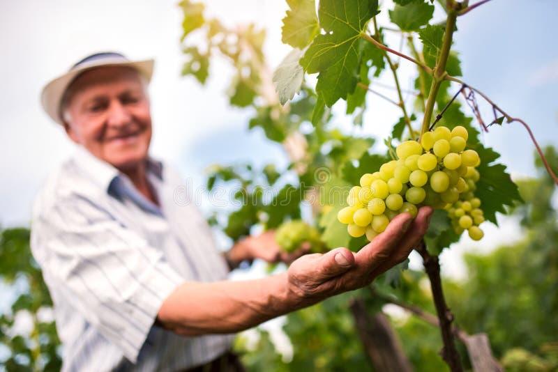 Hombre mayor que comprueba la calidad de uvas imágenes de archivo libres de regalías